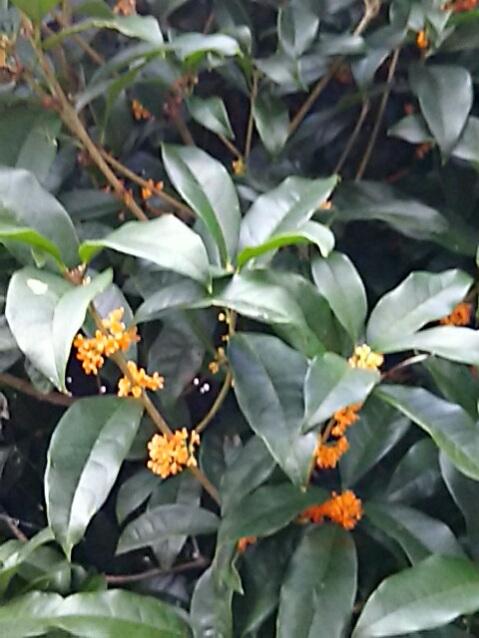 見かけるキンモクセイ(金木犀)が何故か疎らな咲き姿で…