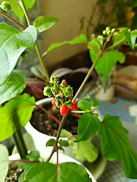 ジュズサンゴ(数珠珊瑚、ハトベリー)の花と真っ赤な実
