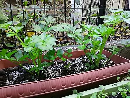 セロリの苗を二株だけ植えてみました!
