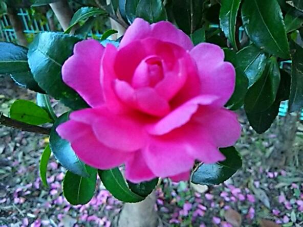 八重のサザンカ(山茶花)がバラの花の様です!