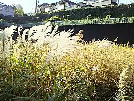 風に揺られて金銀の花穂の波☆