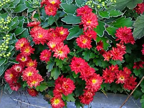 今夜秋の花の代表格・・・キク(菊)