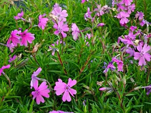 ずっと咲き続けているシバザクラ(芝桜)のピンク色