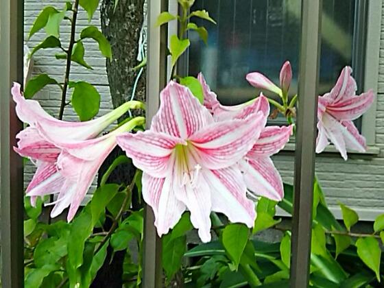 珍しい秋咲きのアマリリス「シロスジアマリリス」が咲いていました!