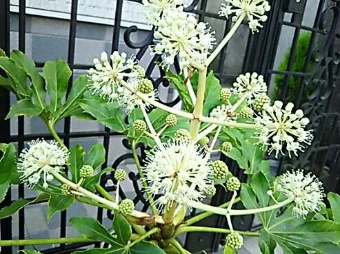 ヤツデ(八つ手、天狗の葉団扇)の花が開きましたよ♪