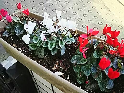 冬の玄関先はガーデンシクラメンが飾ってくれます♪