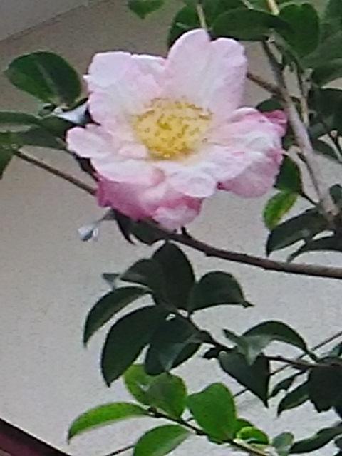 今夜は淡いピンク色の山茶花(サザンカ)の花