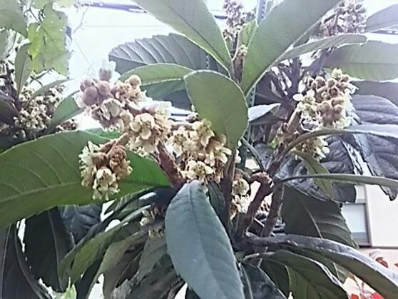我が家のラズベリー(フランボワーズ)はまだ採れていますよ!&そしてビワ(枇杷)の花は満開‼