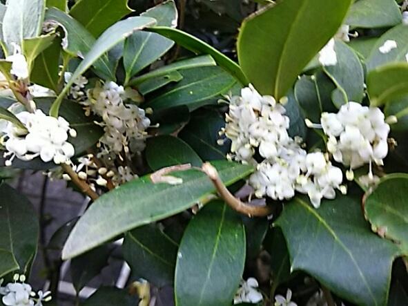 ヒイラギ(柊)の花から良い香りがしています!