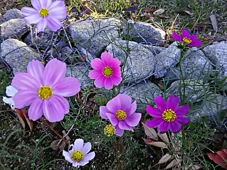 色んな種類のコスモス(秋桜)が可愛い~♪