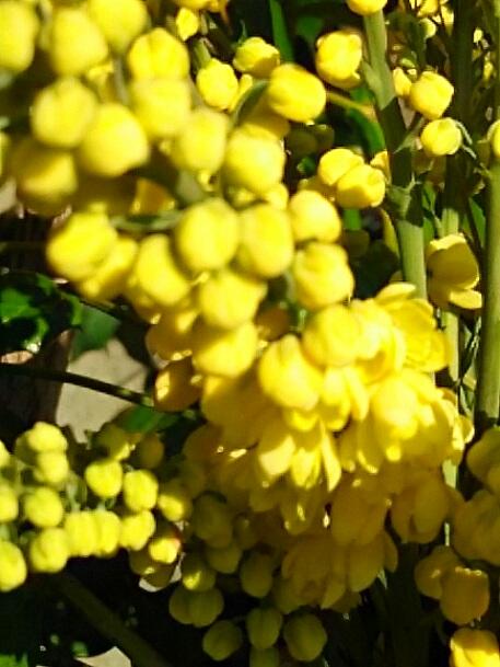 ウケンさんお誕生日おめでとう!このお花(チャリティー、マホニア・チャリティー)を送ります☆☆☆