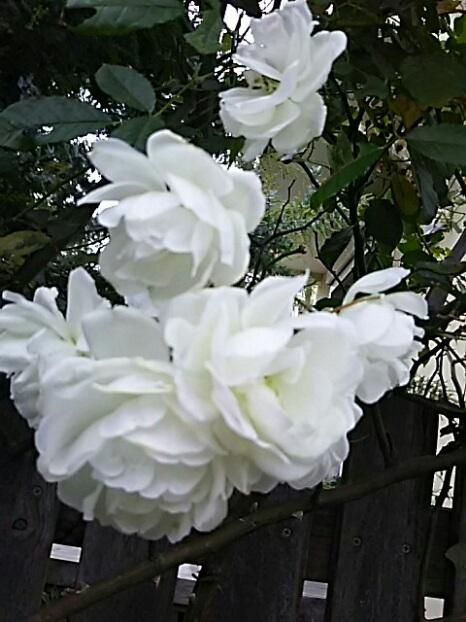 寒空に雪を思わせる白いバラの輝き!
