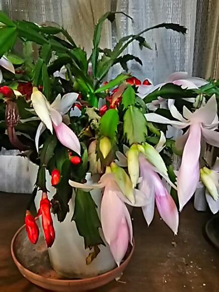 我が家のデンマークカクタス(シャコバサボテン)が咲き始めていますが・・・