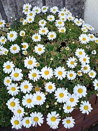 沢山のお宅で咲いている花