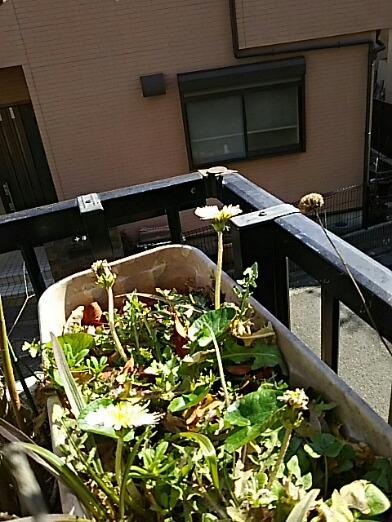 いつの間にかプランターの白いタンポポが咲き始めていました!