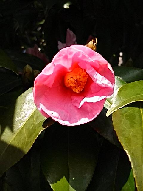 いつ見てもこの椿(ツバキ)の花は可愛い♪