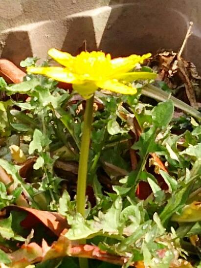 ヒメリュウキンカなのか ?リュウキンカ(立金花)なのか?分からないのですが、可愛いお花です!