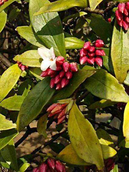 沈丁花(ジンチョウゲ、チンチョウゲ)はまだ蕾