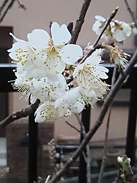 サクランボの木も桜の花が咲き始めていました!