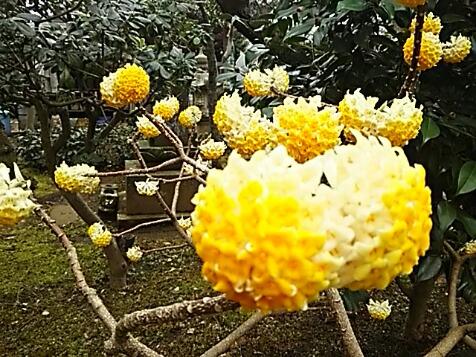 今朝のお花は大きなぼんぼりみたいなミツマタ(三叉、三椏)です!