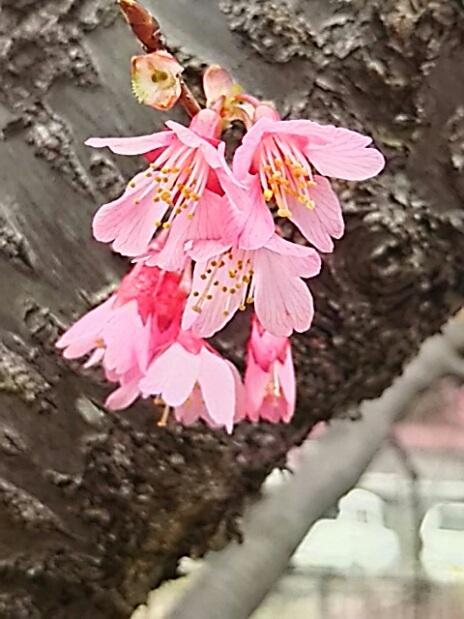 今年のオカメ桜は見事です!