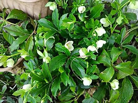 我が家のクリスマスローズも咲き始めて来ました!