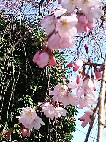 今日は咲き始めた枝垂れ桜と共に直さん(高橋直純)の嬉しいお知らせ三昧で参ります!(開花宣言の直祭り~♪)う~ん、色っぽく?(*´∀`)♪