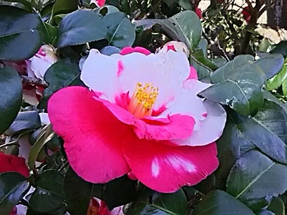 赤と白の混じった大きな椿(ツバキ)の花