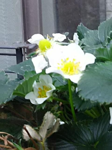 四季なりイチゴの花が沢山咲き始めて来ました!