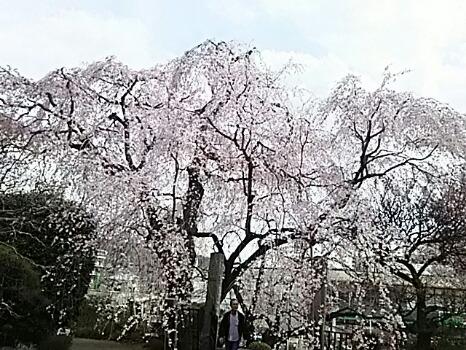 枝垂れ桜はもう満開で少し散り始めていました!