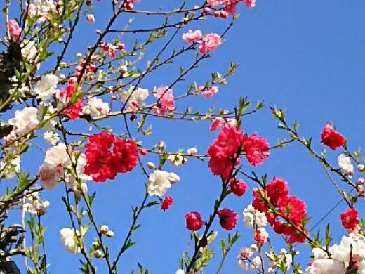 友人宅のハナモモ(花桃)も咲き始めました!