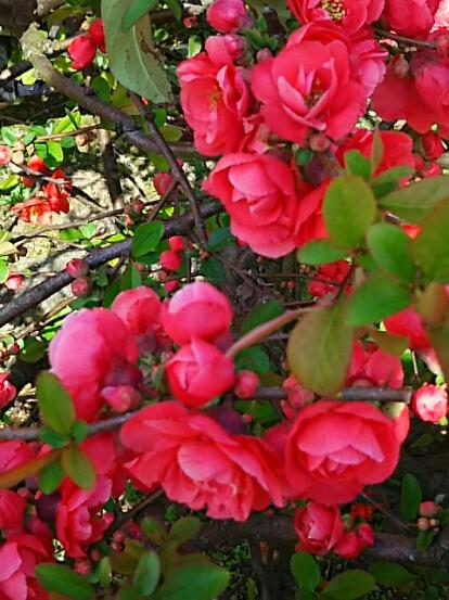 こちらも満開ボケ(木瓜)の花