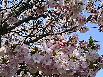 2018年4月の直さん(高橋直純)参りましょ!(サクラ祭りで直祭り~♪)サクラも直さんも花満開~♪