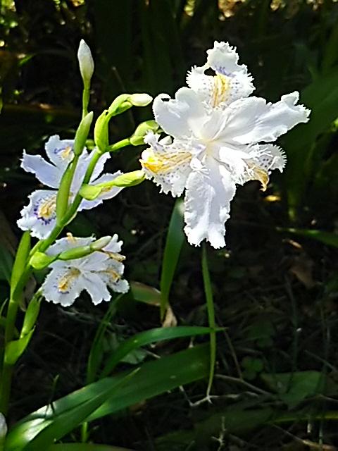 シャガ(コチョウカ)は今では何処にでも見られる花