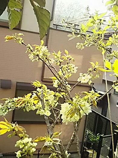 我が家の八重桜(牡丹桜)「御衣黄(ギョイコウ)」が咲き始めました!