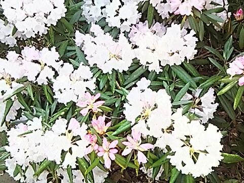 華やかに参りましょう‼シャクナゲ(石南花、石楠花)オンパレード♪