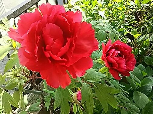 我が家のボタン(牡丹)が咲き始めました♪/今日の直さん(高橋直純)は丸井ブン太のイベントに出演です!