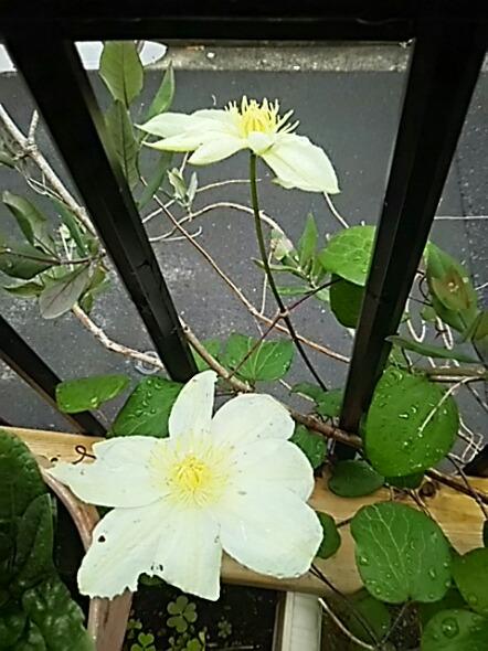 忘れかけていたクレマチス(満州黄)が咲いてくれました!