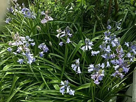 ツリガネズイセン(釣鐘水仙、ヒヤシンソイデス、シラー・ヒスパニカ、シラー・カンパニュラ)も咲き始めました!