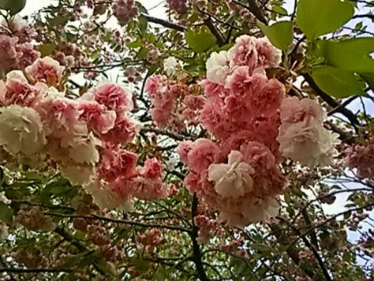 間に合いました !<br /> 珍しい八重桜(牡丹桜、里桜)まずは「普賢象桜(フゲンゾウザクラ)」