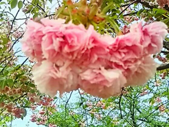 間に合いました !珍しい八重桜(牡丹桜、里桜)まずは「普賢象桜(フゲンゾウザクラ)」