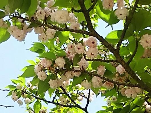 今夜も珍しい八重桜(牡丹桜 )から「兼六園菊桜(ケンロクエンキクザクラ)」