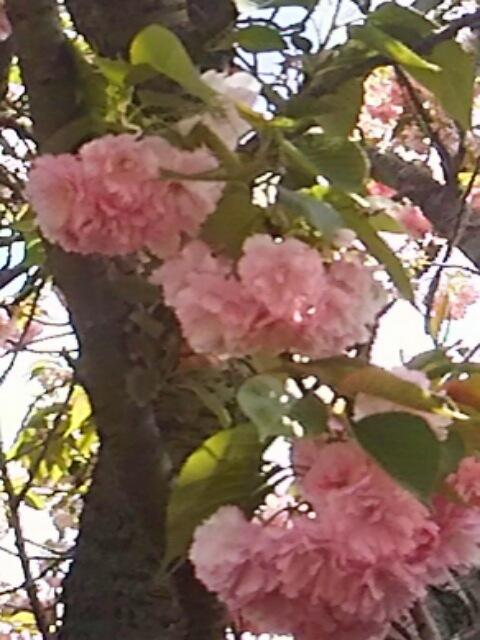 八重桜(牡丹桜、里桜)の最後は最もポピュラーな八重桜「関山(カンザン、せきやま)」です!