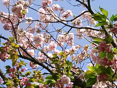 今日も八重桜(牡丹桜、里桜)で「福禄寿(フクロクジュ)」です!