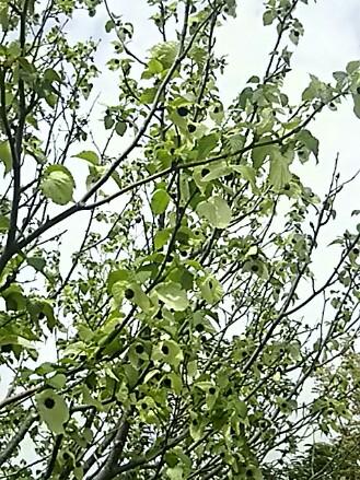 ハンカチの木(鳩の木、幽霊の木、ダヴィデァアなど)