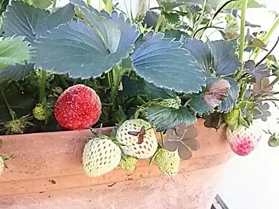 四季成りイチゴの「セリーヌ」・・・ちょっと成り過ぎ?(*´∀`)♪