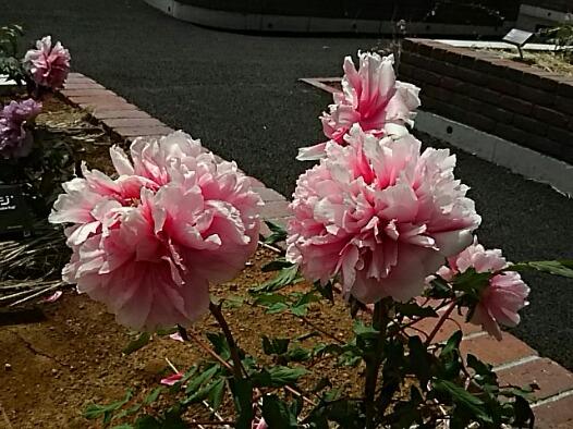 そろそろボタン(牡丹)の花をいろいろと!!