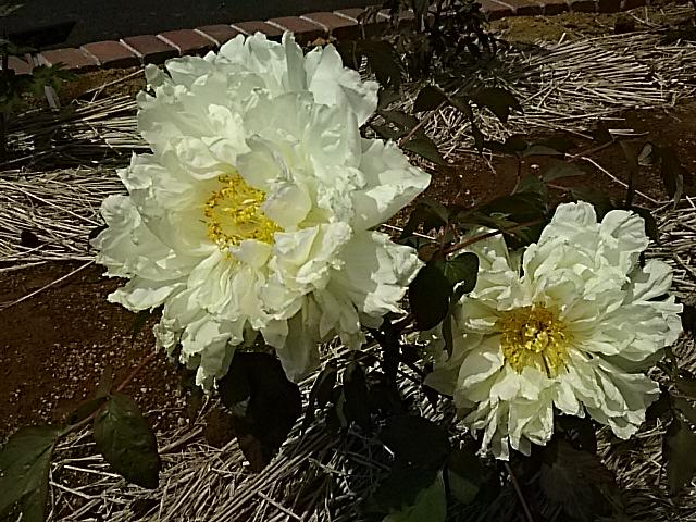 今朝もボタン(牡丹)の花五種類をお届けします‼