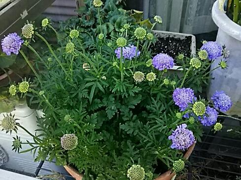 マツムシソウ(スカビオサ)が二度目の開花です!