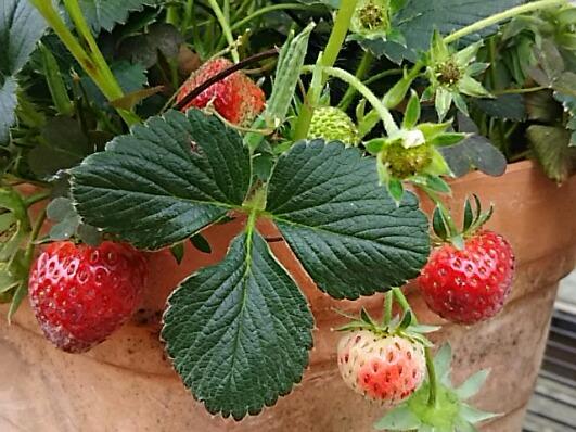 今日の我が家の四季成りイチゴ~☆